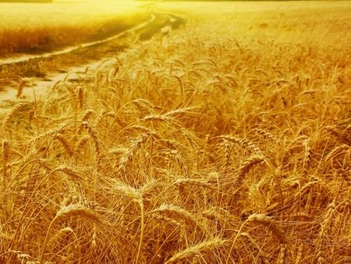 Grain | Siena, Val D'Orcia | 2004